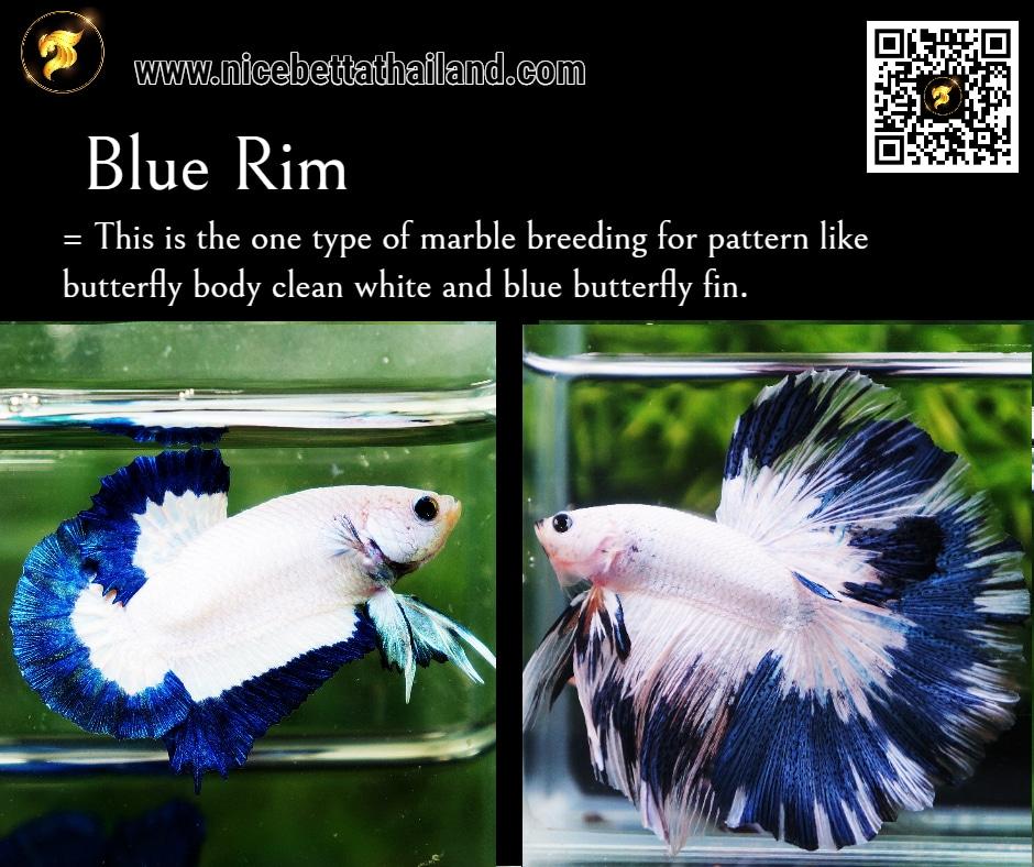 Betta fish Blue Rim color