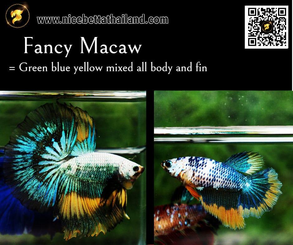 Betta fish Fancy Macaw color