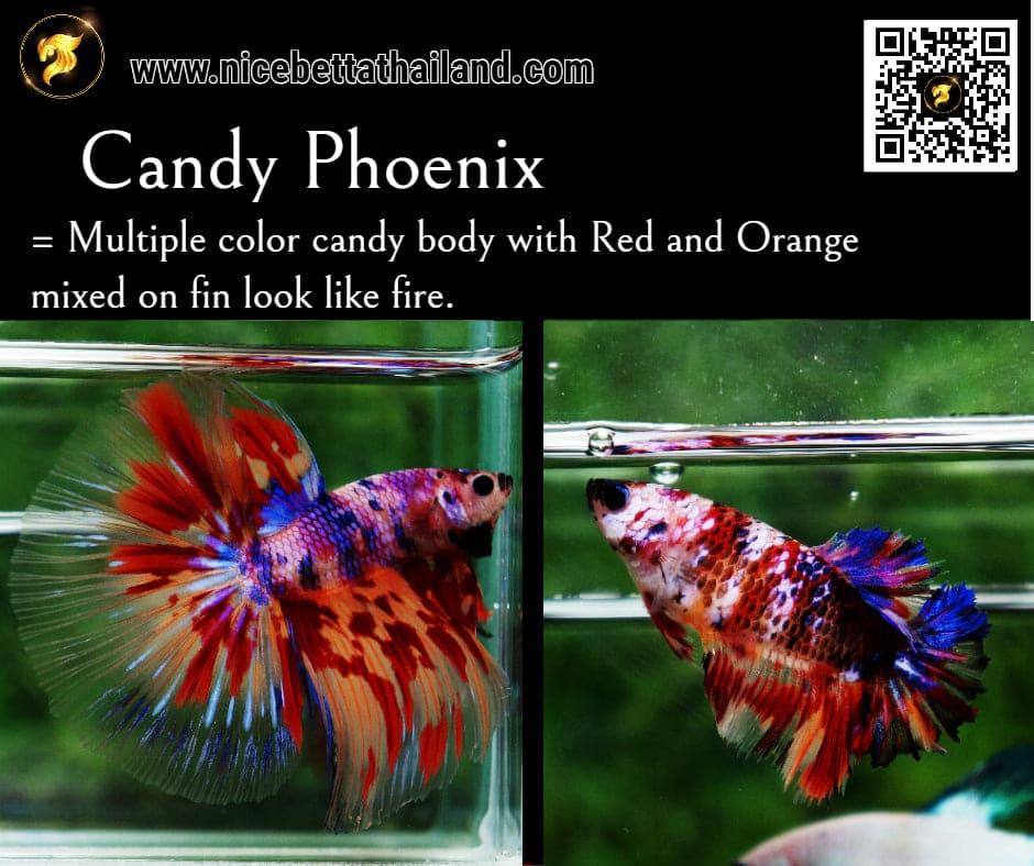 Betta fish Candy Phoenix color
