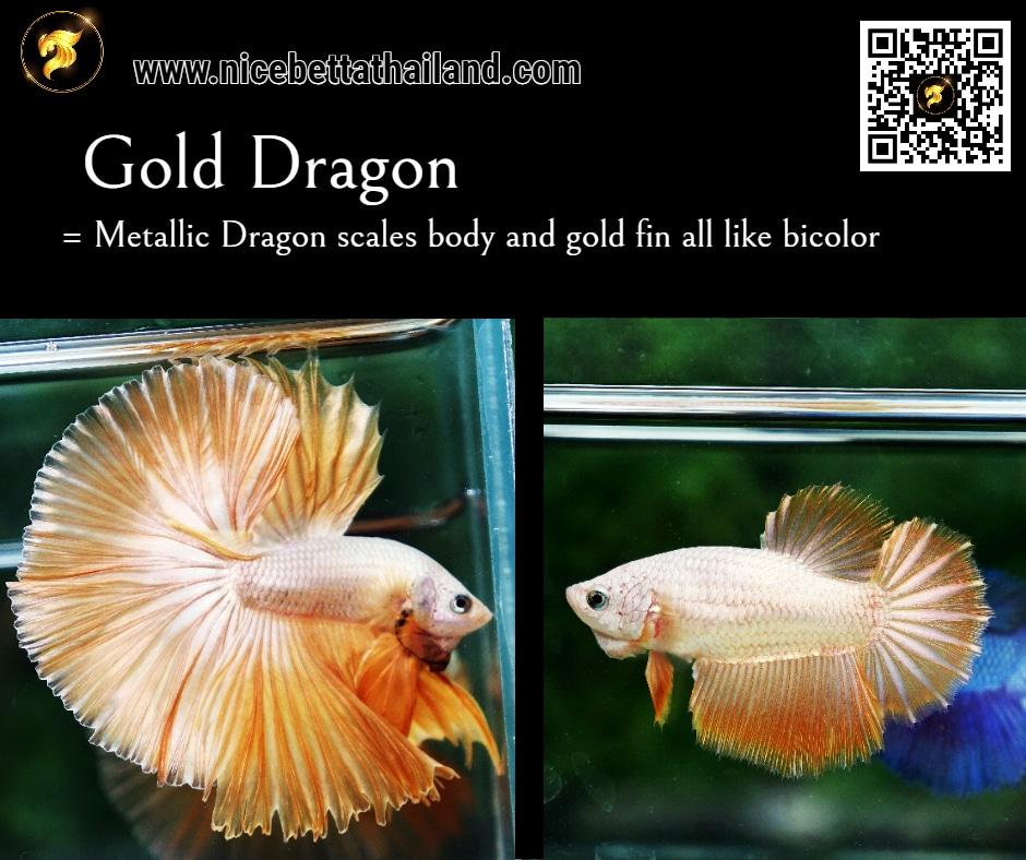 Betta fish over half moon gold Dragon
