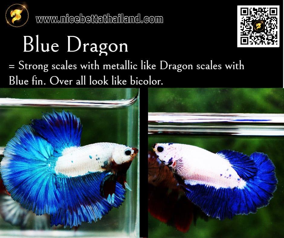 Betta fish Blue Dragon color