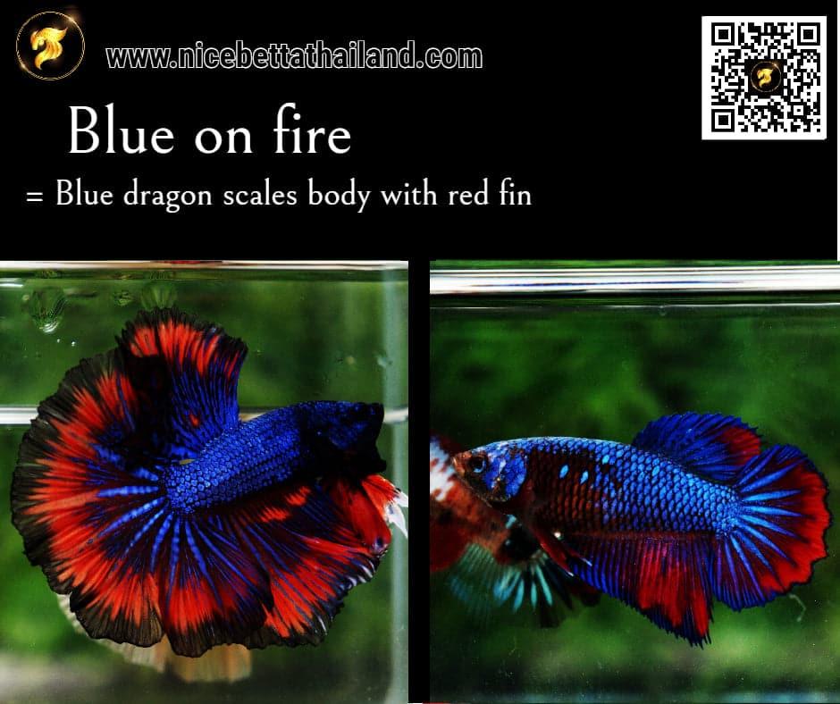 Betta fish Blue on Fire