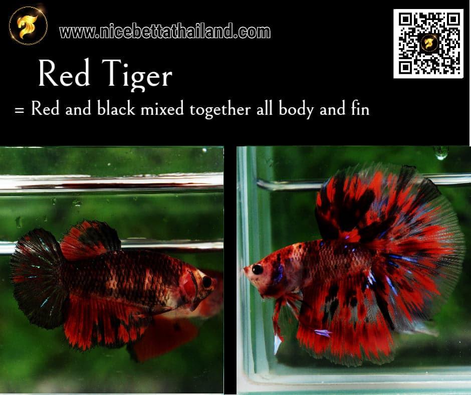 Betta fish Red Tiger color