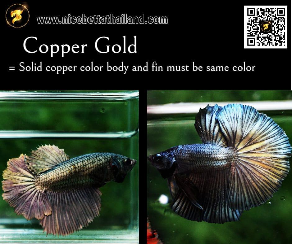 Betta fish Copper Gold color