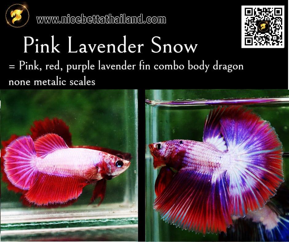 Betta fish Pink Lavender color