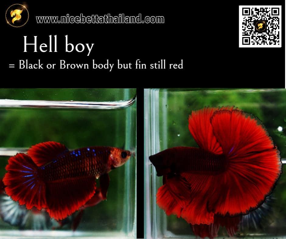Betta fish Hell Boy color