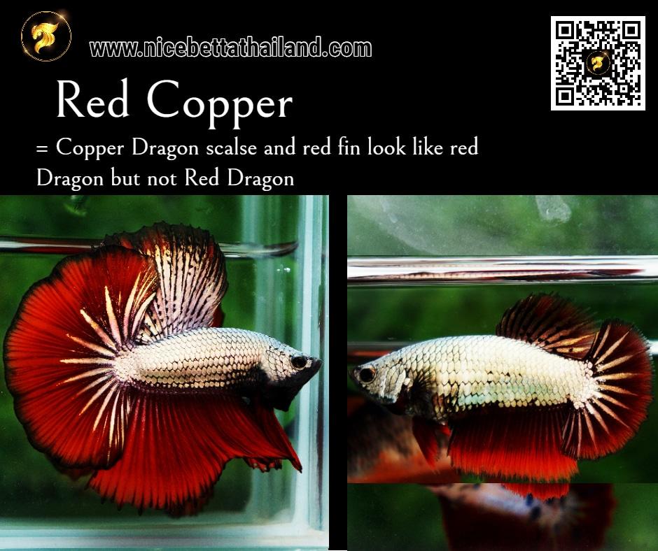 Betta fish Red Copper color