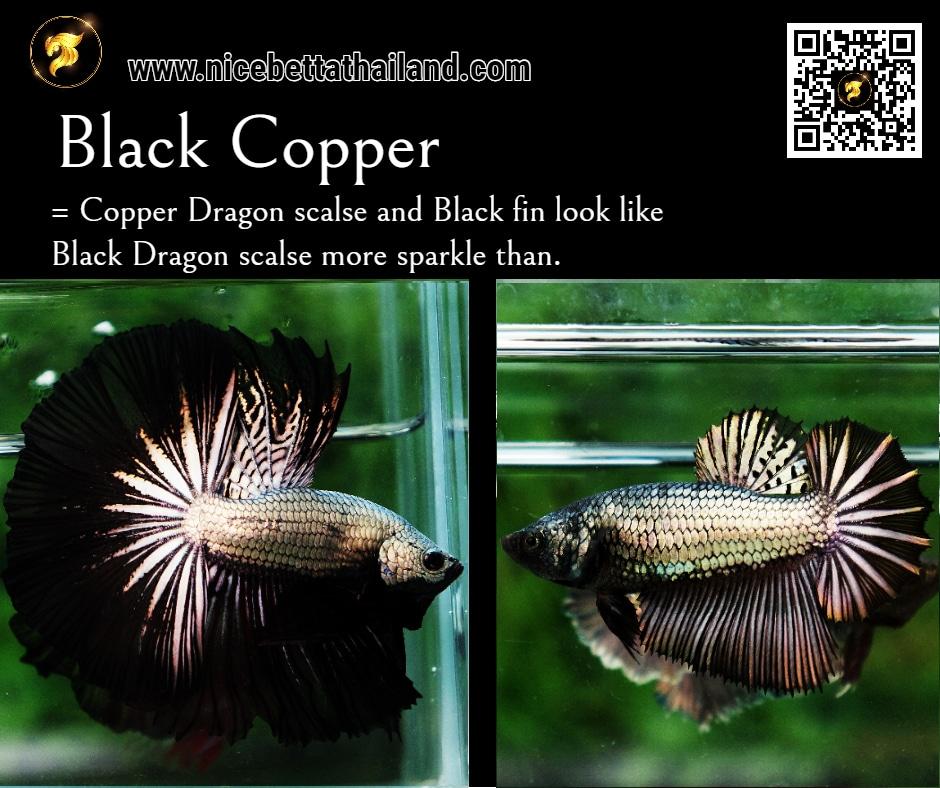 Betta fish Black Copper color