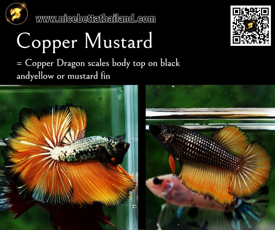Betta fish Copper Mustard color