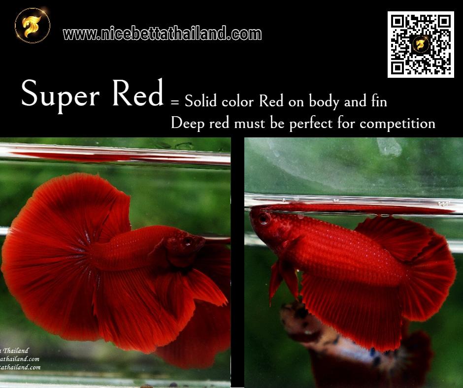 Betta fish Super Red color