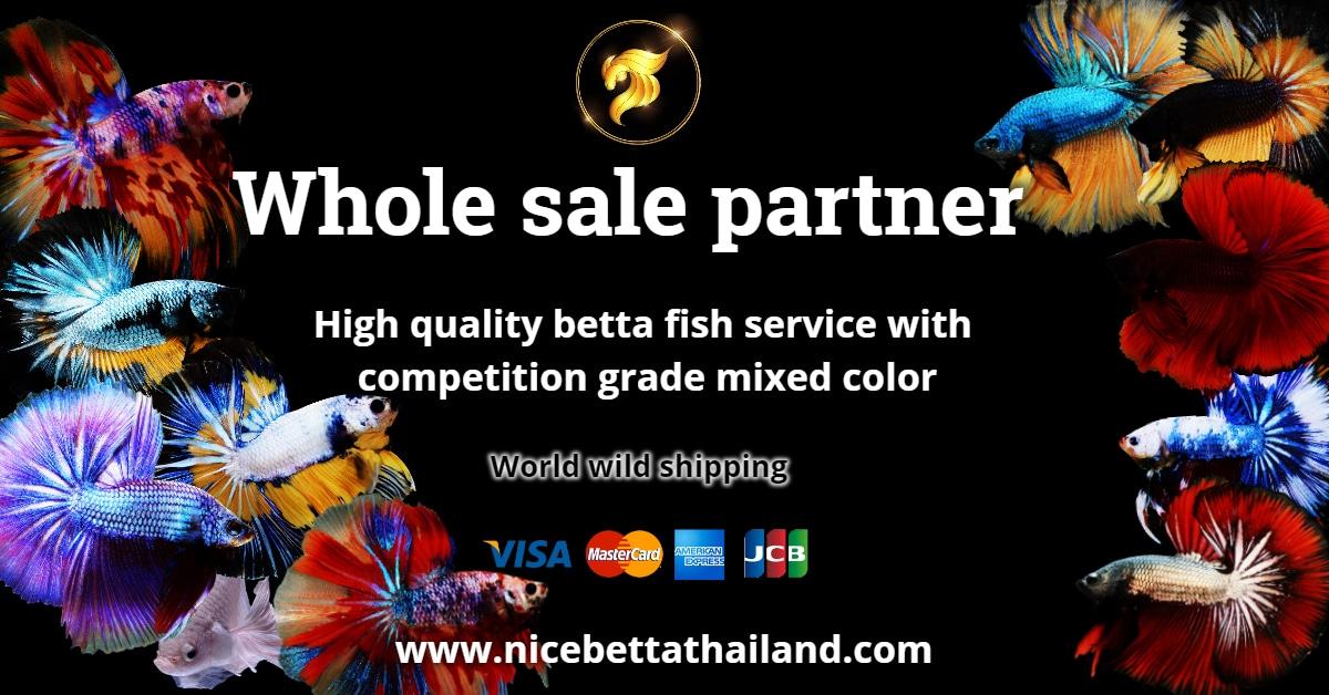 Whole sale betta fish partner